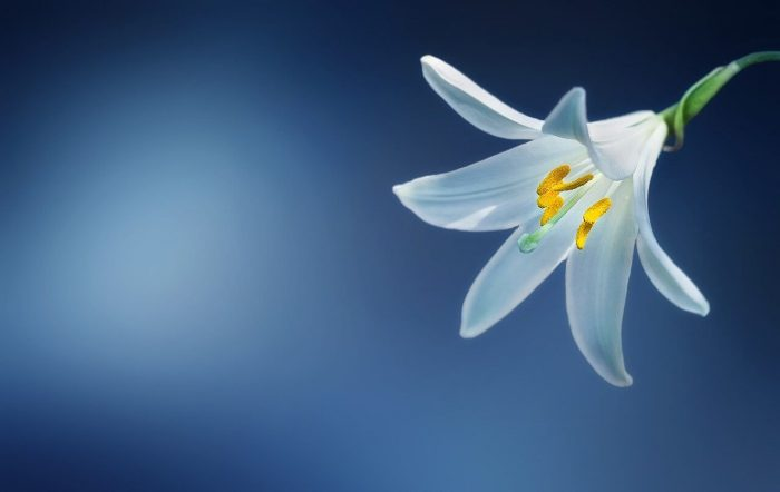 Interesting Facts About the Beautiful Lilies